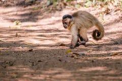 Azaras`s Capuchin or Hooded Capuchin, Sapajus Cay, Simia Apella or Cebus Apella, Nobres, Mato Grosso, Pantanal, Brazil. Azaras`s Capuchin or Hooded Capuchin royalty free stock image