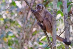 Azaras`s Capuchin or Hooded Capuchin, Sapajus Cay, Simia Apella or Cebus Apella, Nobres, Mato Grosso, Pantanal, Brazil. Azaras`s Capuchin or Hooded Capuchin stock photography