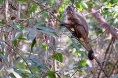 Azaras`s Capuchin or Hooded Capuchin, Sapajus Cay, Simia Apella or Cebus Apella, Nobres, Mato Grosso, Pantanal, Brazil. Azaras`s Capuchin or Hooded Capuchin royalty free stock photography