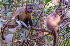 Azaras`s Capuchin or Hooded Capuchin, Sapajus Cay, Simia Apella or Cebus Apella, Nobres, Mato Grosso, Pantanal, Brazil. Azaras`s Capuchin or Hooded Capuchin royalty free stock images