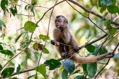 Azaras`s Capuchin or Hooded Capuchin, Sapajus Cay, Simia Apella or Cebus Apella, Nobres, Mato Grosso, Pantanal, Brazil. Azaras`s Capuchin or Hooded Capuchin royalty free stock photo