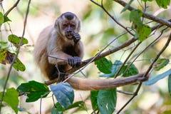 Azaras`s Capuchin or Hooded Capuchin, Sapajus Cay, Simia Apella or Cebus Apella, Nobres, Mato Grosso, Pantanal, Brazil. Azaras`s Capuchin or Hooded Capuchin stock image