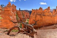 Azarentos e árvore velha em Bryce Canyon National Park, Utá EUA foto de stock