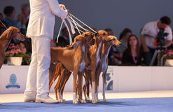 Azawakh hounds in the show ring Royalty Free Stock Photo