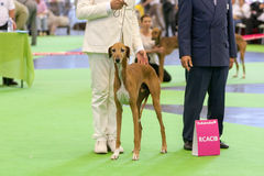 Azawakh Hound at dog show Stock Photo