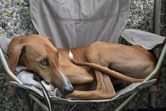 Azawakh sahara dog laying in a camping chair royalty free stock images