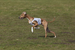 Azawakh sight hound at coursing race Royalty Free Stock Photography
