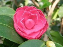 azazel piękne kwiaty fotografia stock