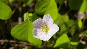 Azeda de madeira comum, acetosella de Oxalis, macro com as folhas defocused, foco seletivo da flor, DOF raso imagem de stock
