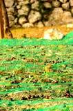 azeitona Imagens de Stock