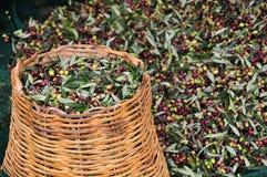 Azeitonas coletadas Fotografia de Stock Royalty Free