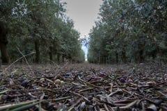 Azeitonas e folhas caídas na terra na plantação verde-oliva Fotos de Stock Royalty Free