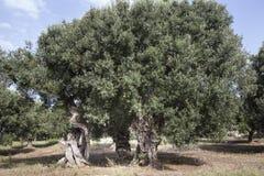 Azeitonas em Salento e em Puglia Fotos de Stock
