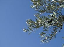 Azeitonas maduras em uma oliveira Fotos de Stock Royalty Free