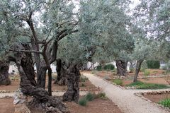 Azeitonas muito velhas no jardim de Gethsemane foto de stock