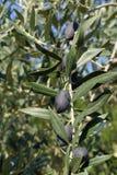 Azeitonas na árvore Imagem de Stock