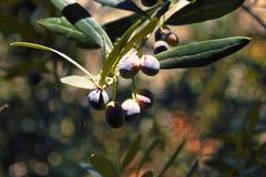 Azeitonas na oliveira no Attica, Grécia foto de stock