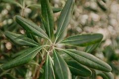 Azeitonas no ramo de oliveira Cena da noite imagem de stock royalty free