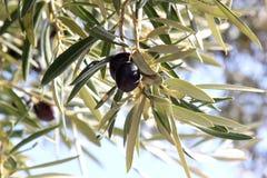 Azeitonas pretas no sul de Spain, a Andaluzia imagens de stock