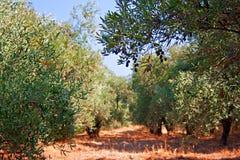 Azeitonas que amadurecem no sol quente do verão Fotografia de Stock Royalty Free