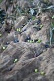 Azeitonas recentemente escolhidas Imagem de Stock