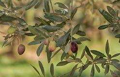 Azeitonas verdes em ramos finos longos Imagens de Stock