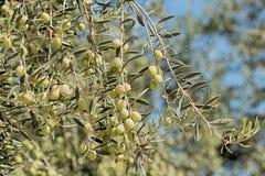 Azeitonas verdes em ramos finos longos Foto de Stock