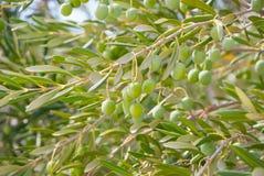 Azeitonas verdes na planta foto de stock royalty free