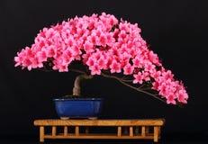 azelea bonsai satzuki Zdjęcia Stock