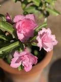 Azelea w glinianym garnku zdjęcie royalty free