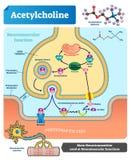 Azetylcholinvektorillustration Beschrifteter Entwurf mit Neurotransmitter stock abbildung
