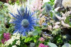 Azevinho de mar azul do planum do Eryngium no fundo das flores Foto de Stock