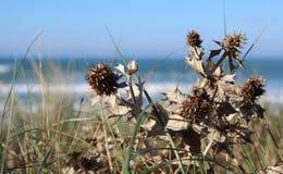 Azevinho de Mar Morto na praia fotografia de stock