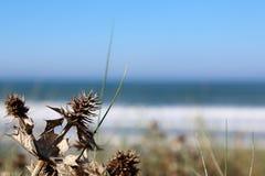 Azevinho de Mar Morto na praia foto de stock