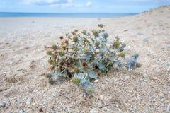Azevinho de mar na praia do loe Fotografia de Stock