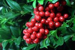 Azevinho do Natal Foto de Stock Royalty Free