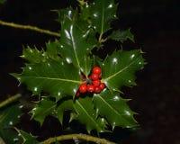 Azevinho do Natal com fundo escuro Foto de Stock Royalty Free