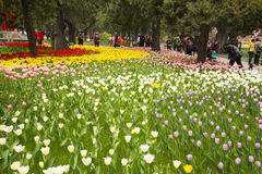 Azië China, Peking, Zhongshan-Park, de bloemtuin, tulp Royalty-vrije Stock Afbeeldingen