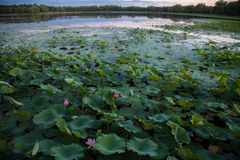 Azië China, Peking, Oud de Zomerpaleis, lotusbloemvijver Royalty-vrije Stock Afbeeldingen