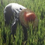 Aziatisch de Cultuurconcept van landbouwersharvesting rice nature Stock Foto