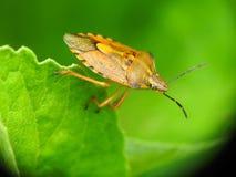 Aziatisch insect royalty-vrije stock foto