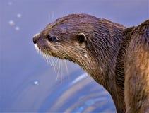 Aziatisch kort gekrabd otterportret, in Noordwestenmoerasland royalty-vrije stock fotografie