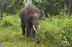 Aziatisch of Aziatisch olifant of Elephas-maximusmannetje, India royalty-vrije stock afbeelding