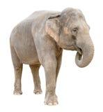 Aziatisch olifantswijfje dat geheim knipsel vertelt Stock Fotografie