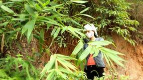 Aziatisch vrouw het plukken blad in het bos aan de cake van de verpakkingsrijst Royalty-vrije Stock Foto's