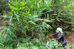 Aziatisch vrouw het plukken blad in het bos aan de cake van de verpakkingsrijst Royalty-vrije Stock Afbeeldingen
