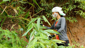 Aziatisch vrouw het plukken blad in het bos aan de cake van de verpakkingsrijst Stock Afbeelding