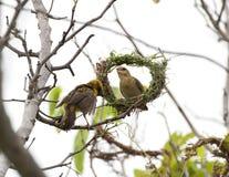 Aziatisch Weaver Bird Stock Afbeeldingen
