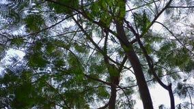 Aziatische aap op een boomtak, in een bos in de wildernis 4k, langzame motie stock footage