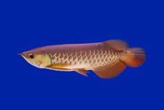 Aziatische Arowana-vissen, draakvissen Royalty-vrije Stock Foto's